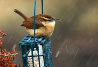 Carolina Wren in a Snowstorm