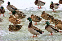 Ducks in Snow and Ice